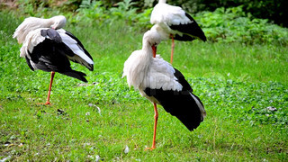 Group of storks on a green background.