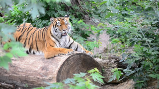 Tiger on a log in the woods.