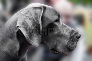 Great Dane also known as German Mastiff is a breed of domestic dog known for its giant size
