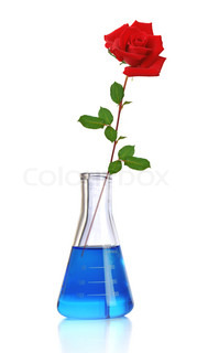rose in a test tube isolated on white background