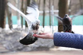 Doves feeding in hand