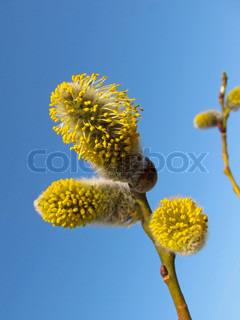 Close-up of willow blossom