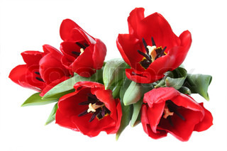 Spring flower - bouquet of red tulips
