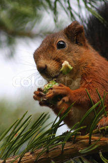 A Eurasian red squirrel is eating a pine cone