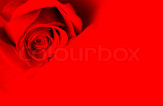beautiful red rose over red background
