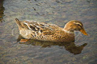 brown duck swims in the lake