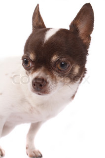 brown and white chihuahua dog on the white background
