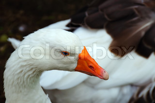 Geese and the head of a white goose