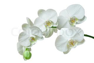 orkidé isoleret på hvid baggrund