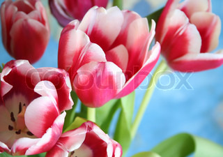 Bouquet of the fresh pink tulips on the blue background
