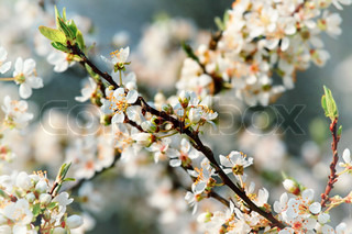 Branches of blossoming fruit tree