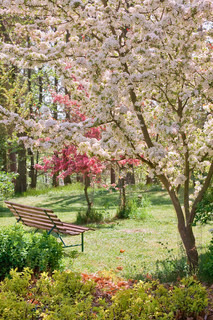 beauty tree in bloom with bench on spring