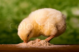 Baby chicken having a meal in front