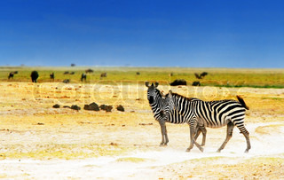 African safari, wild zebras family and landscape of Amboseli National Park, Kenya