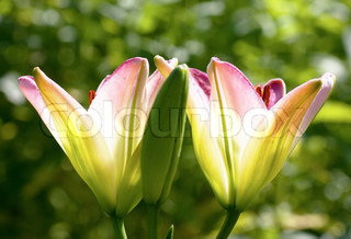 A pair of open lilies and one closed lily in a garden
