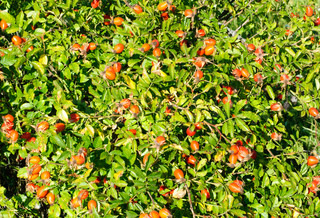 The plant is high in certain antioxidants The fruit is noted for its high vitamin C level and is used to make syrup, tea and marmalade