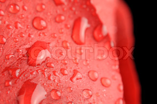 Dew Drops on Red Rose Close-up