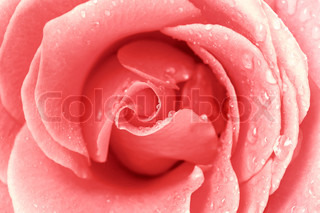 pink rose for the background texture