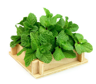 Fresh mint in a wooden box on white