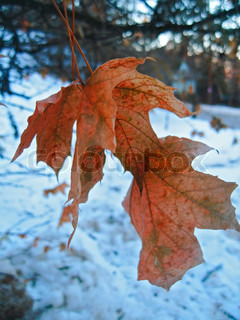 Red maple leaves and cold winter day