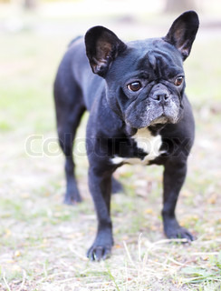 French bulldog. Outdoor