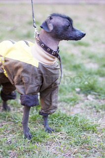 Mexican naked dog xoloitzcuintle in funny dog clothes
