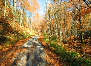 Autumn mountain dirty road and beautiful October beech forest Carpathian, Ukraine