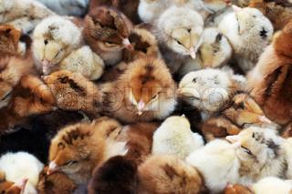 viele farbige Neugeborenes Baby Hühner