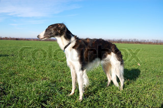 Russian wolfhound - borzoi - in expectation of hunting