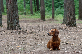 red dachshund sitting on a background of pine forest