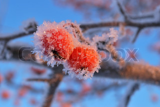 Two small red frozen apples against blue sky