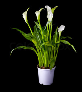 Blossoming plant of Calla flowers in flowerpot isolated on black