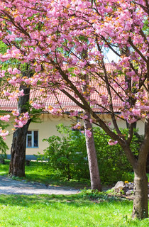 pink japanese cherry tree blossom Uzhgorod City, Ukraine