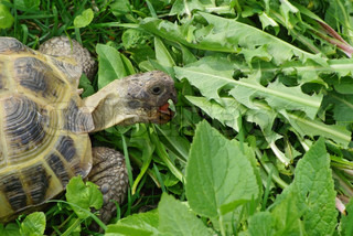 Close-up of a tortoise eating fresh grass