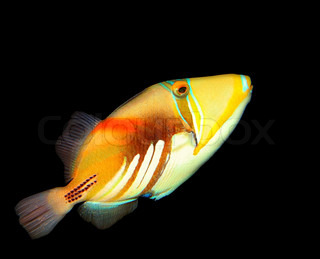 Exotic fish isolated on black, beauty of marine life