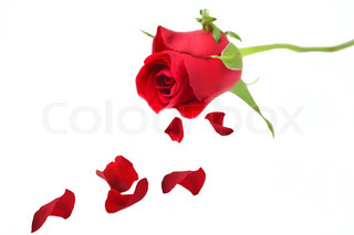 Red Rose with petals isolated on white
