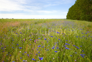 Beautiful summer field with white daisy and blue knapweed flowers