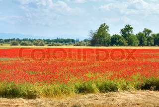 Summer field with beautiful red poppy flowers
