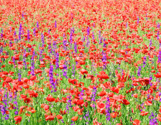 Summer field with beautiful red poppy and purple flowers nature background