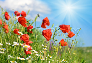 Summer beautiful red poppy and white camomile flowers on blue sky with sunshine background