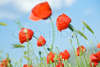 Summer beautiful red poppy flowers and green corn plant on blue sky background