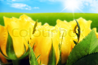 Closeup on field of yellow roses