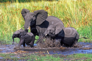 Elephant family with baby crossing stream in the african bush