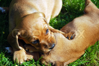 lovely puppy dogs play in grass