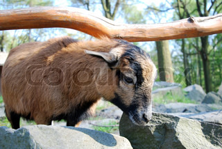 little brown goat on the rock