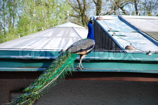 peacock walking on the roof