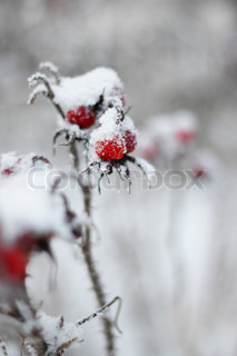 Frozen snow-covered red rose-hip berry, blurred background