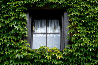 Small dark window covered with green ivy a summer day