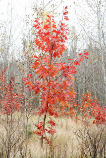 maple tree with red leaves