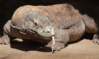 Komodo dragon in search of food on Komodo island